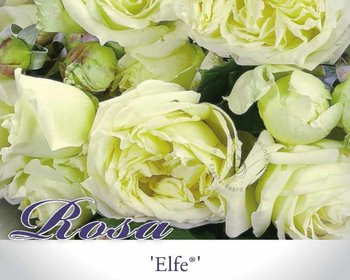 Rosa 'Elfe'