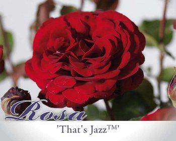 Rosa 'That's Jazz'