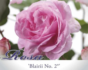 Rosa rambler 'Blairii no. 2'