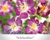 Rosa rambler 'Veilchenblau'