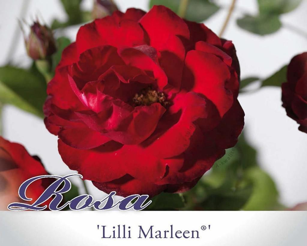 Rosa 'Lilli Marleen' - 060 cm stam