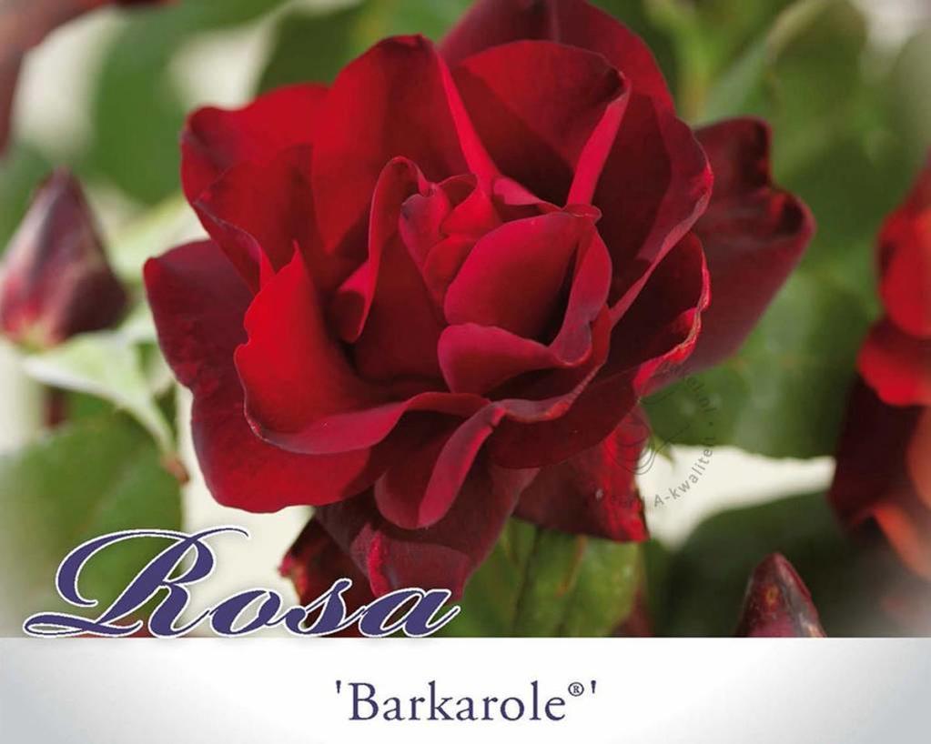 Rosa 'Barkarole'