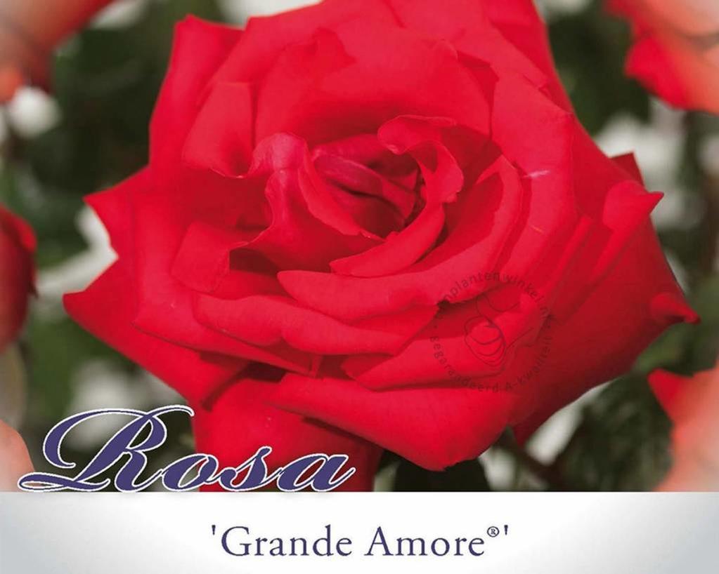 Rosa 'Grande Amore'