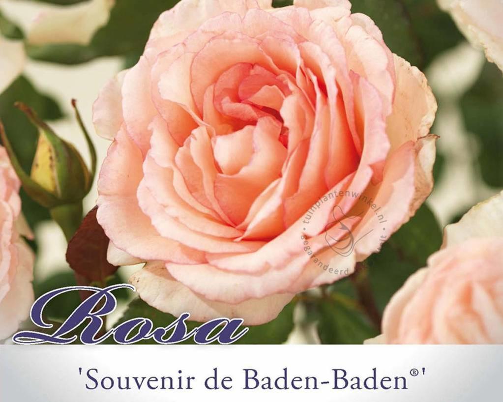 Rosa 'Souvenir de Baden-Baden'