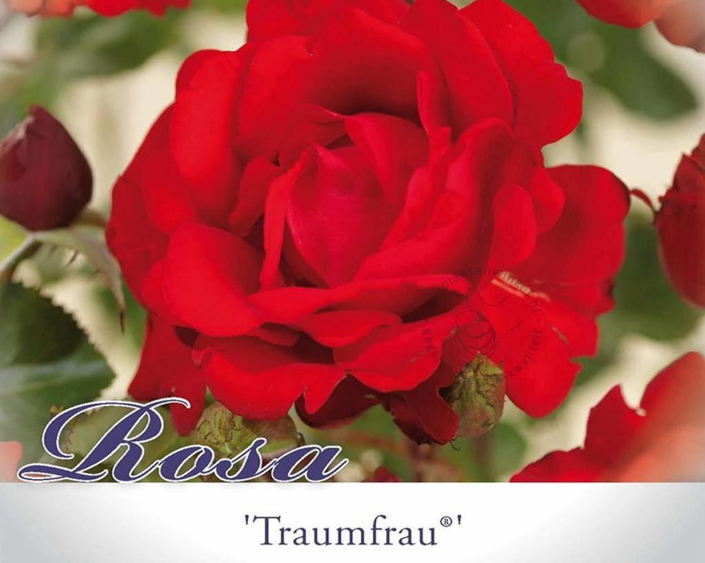Rosa 'Traumfrau'