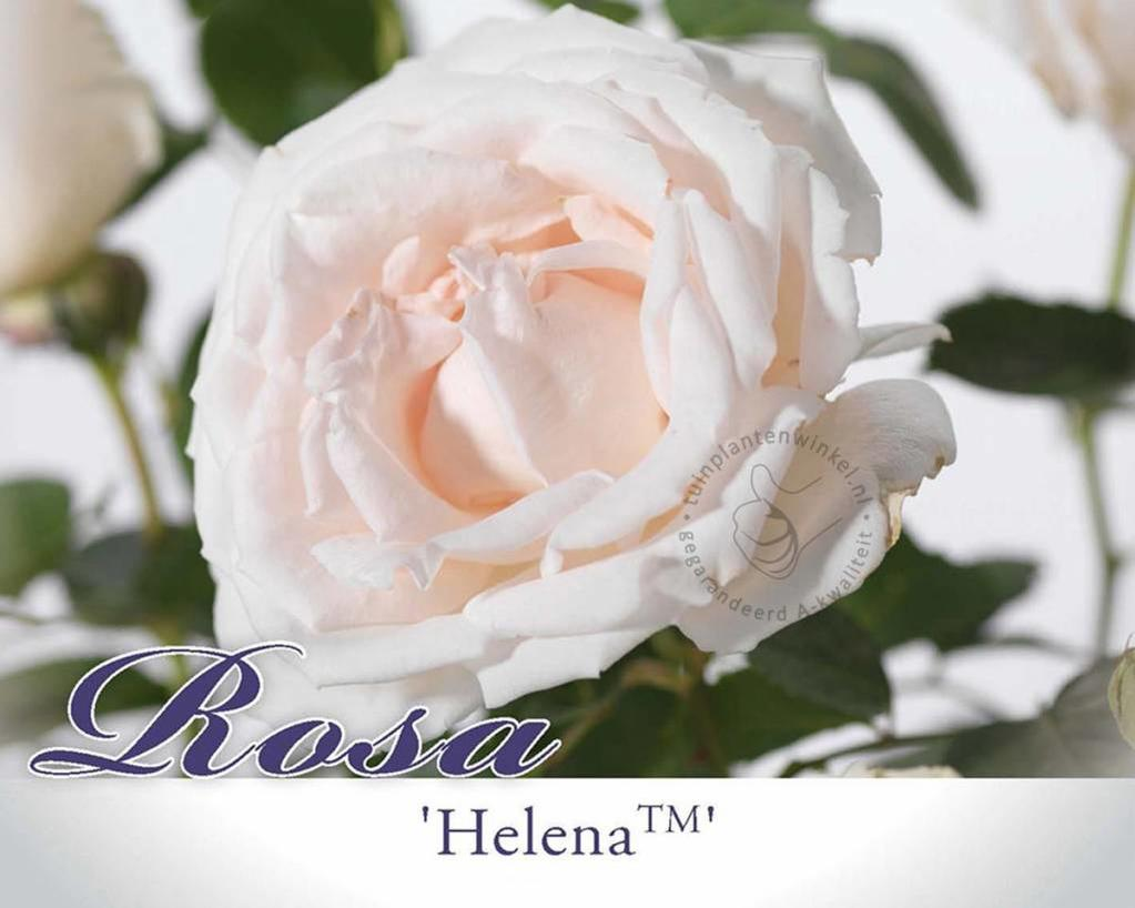 Rosa 'Helena'