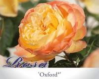 Rosa 'Oxford'