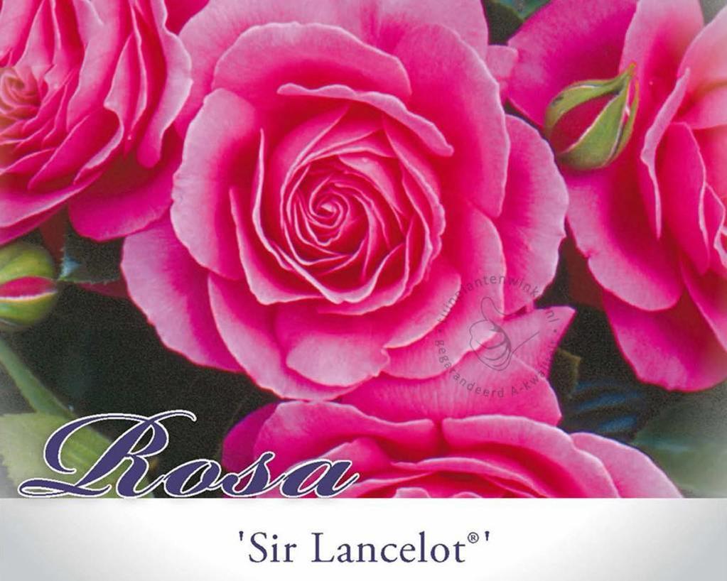 Rosa 'Sir Lancelot'