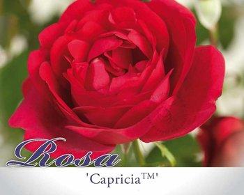 Rosa 'Capricia'