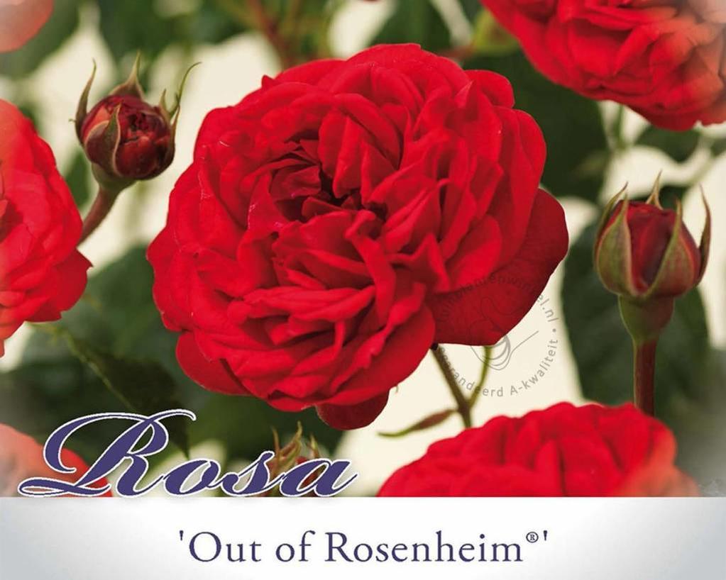 Rosa 'Out of Rosenheim'