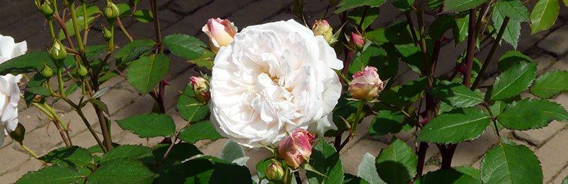 Hoe snoei en onderhoud ik mijn rozen?