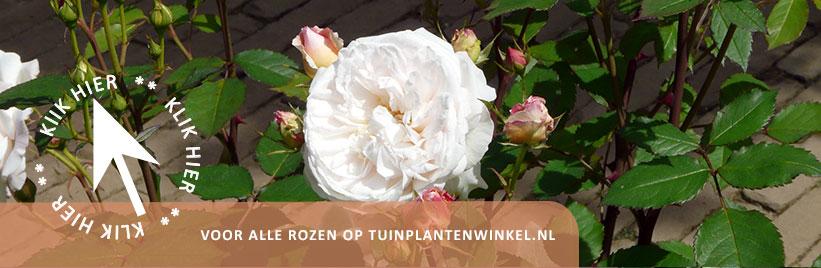 Klik hier voor rozen