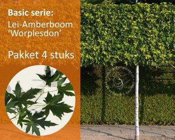 Lei-Amberboom - Basic - pakket 4 stuks + EXTRA'S!