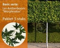 Lei-Amberboom - Basic - pakket 5 stuks + EXTRA'S!