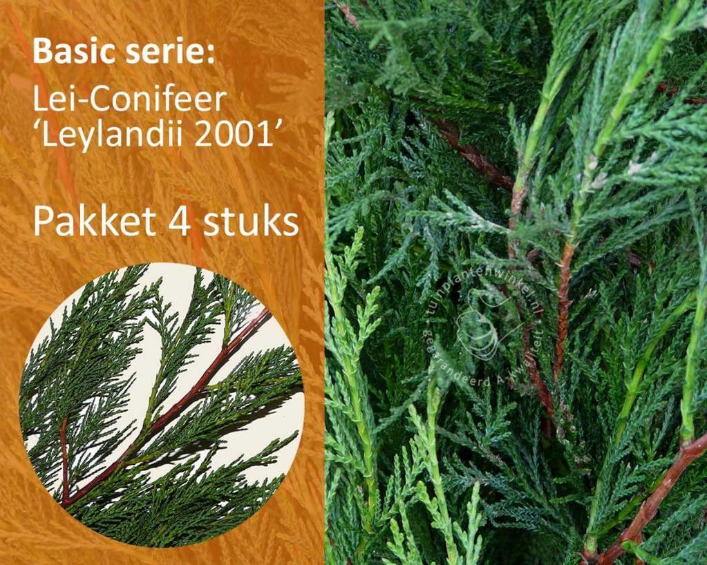 Lei-Conifeer leylandii - Basic - pakket 4 stuks + EXTRA'S!