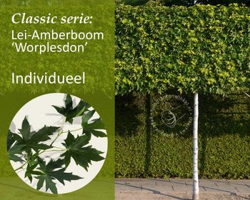 Lei-Amberboom - Classic - individueel - geen extra's
