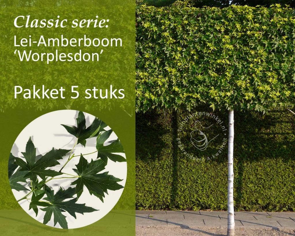 Lei-Amberboom - Classic - pakket 5 stuks + EXTRA'S!