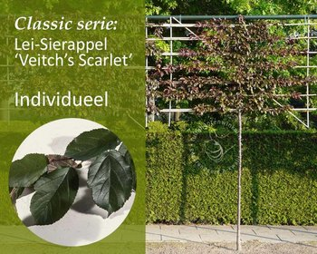 Lei-Sierappel 'Veitch's Scarlet' - Classic - individueel