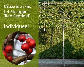 Lei-Sierappel 'Red Sentinel' - Classic - individueel