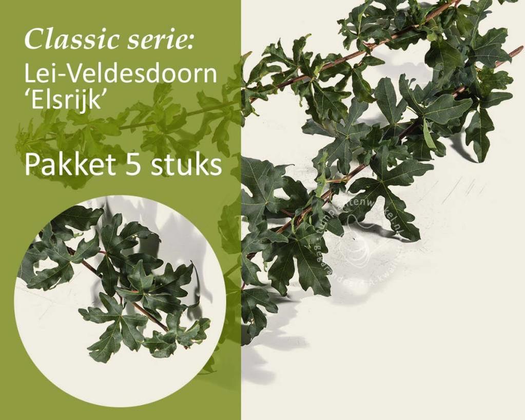 Lei-Veldesdoorn - Classic - pakket 5 stuks + EXTRA'S!