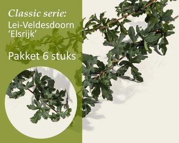 Lei-Veldesdoorn - Classic - pakket 6 stuks + EXTRA'S!