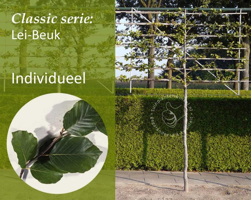 Lei-Groene Beuk - Classic - individueel geen extra's