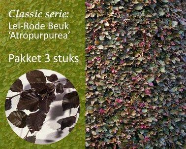 Klik hier om Lei-rode Beuk - Classic - pakket 3 stuks te kopen