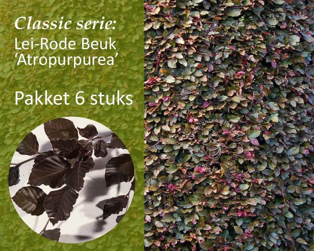 Lei-Rode Beuk - Classic - pakket 6 stuks + EXTRA'S!