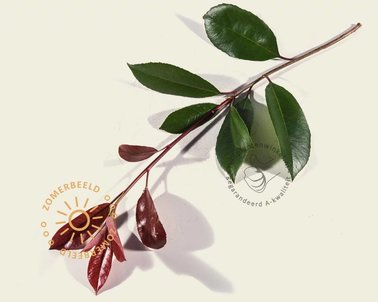 Klik hier om Lei-Photinia - Hoogstam - individueel te kopen