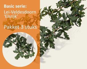 Lei-Veldesdoorn - Basic - pakket 3 stuks + EXTRA'S!
