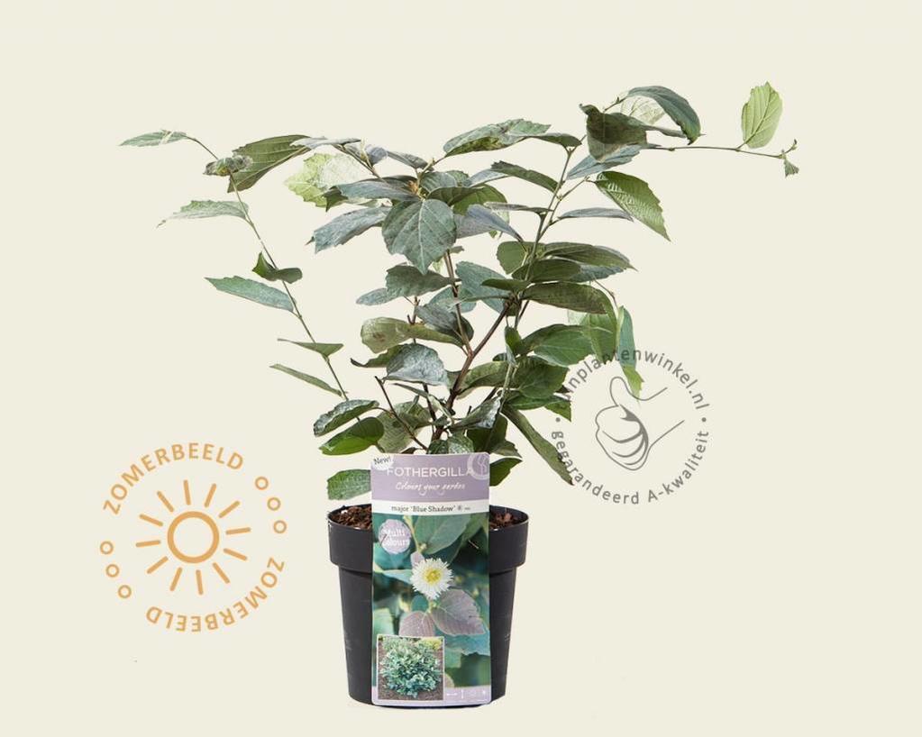 Fothergilla gardenii 'Blue Shadow'