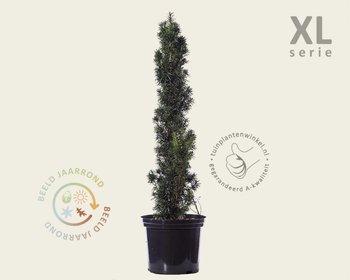 Taxus baccata 'Fastigiata' 80/100 - in pot - XL
