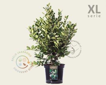 Ligustrum lucidum 50/80 - in pot - XL