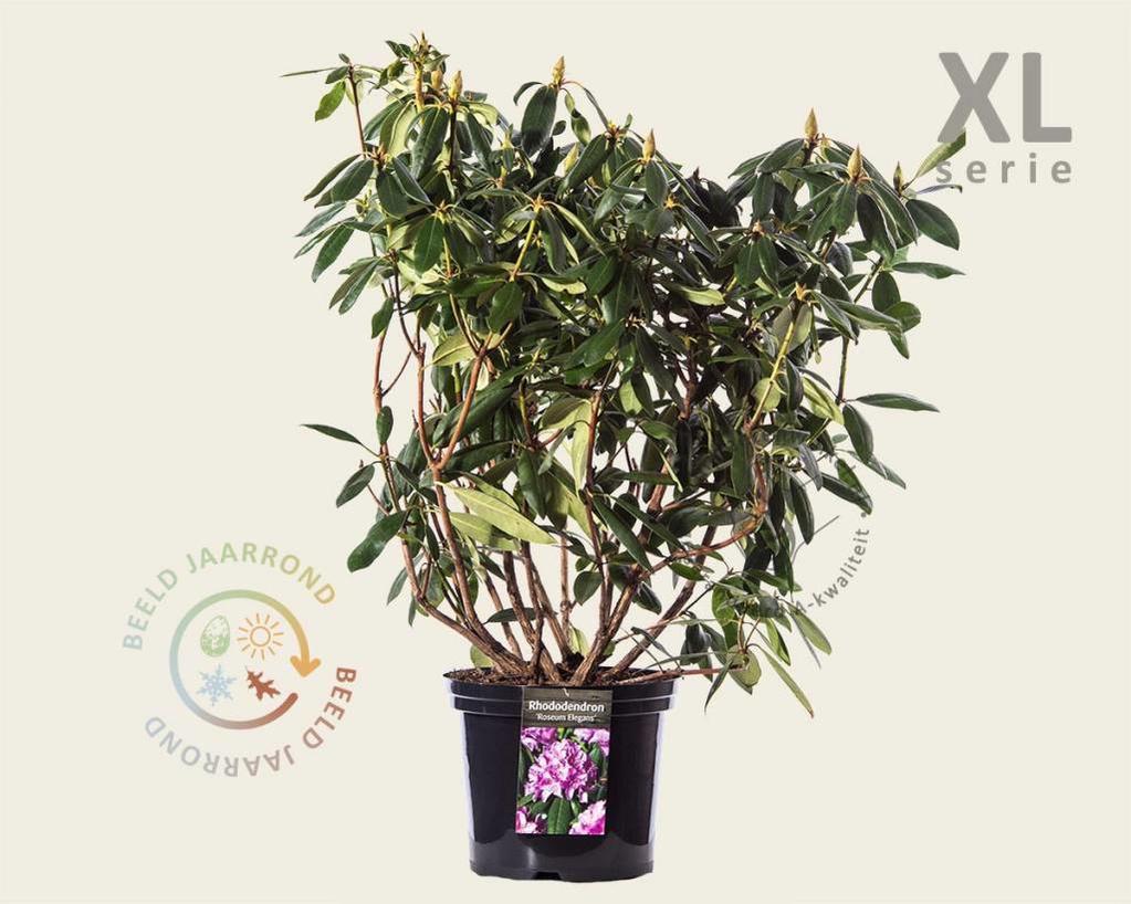Rhododendron 'Roseum Elegans' - XL