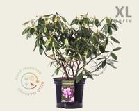 Rhododendron catawbiense 'Grandiflorum' - XL