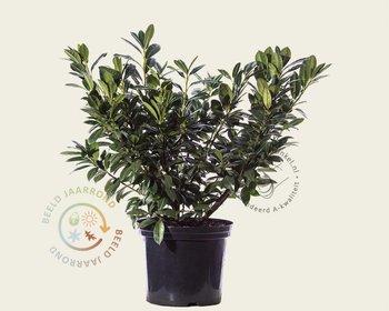 Prunus lauroceracus 'Van Nes' 50/80 - in pot