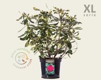 Rhododendron 'Nova Zembla' - XL