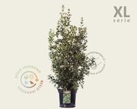 Osmanthus heterophyllus - XL