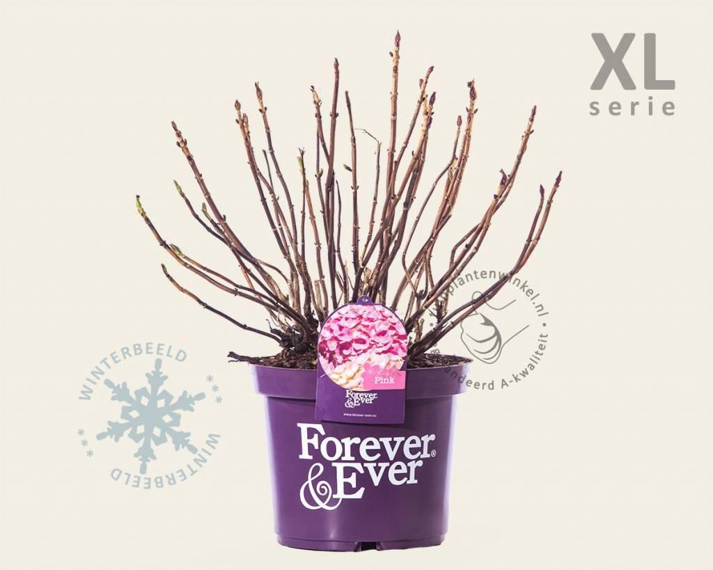 hydrangea macrophylla 39 forever ever 39 roze xl. Black Bedroom Furniture Sets. Home Design Ideas