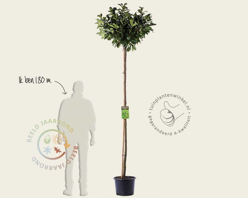 Prunus lauroceracus 'Etna'- 200 cm stam