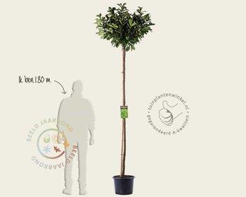 Prunus lauroceracus 'Etna' - 200 cm stam