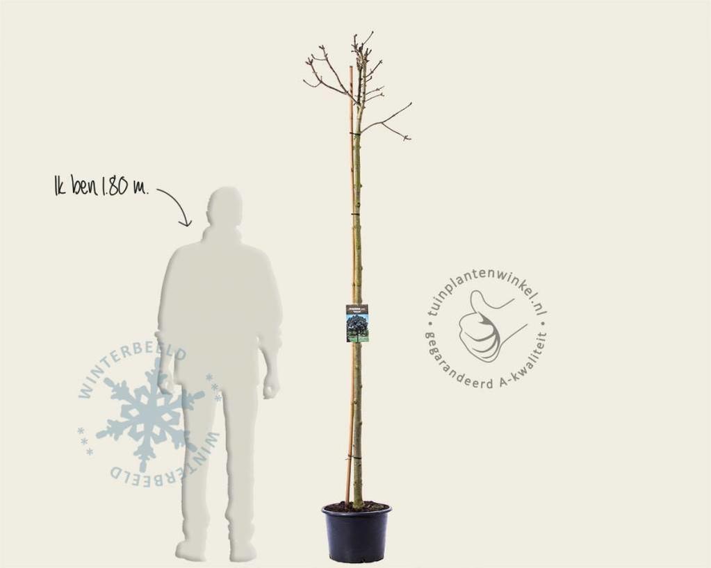 Fraxinus ornus 'Mecsek' - 200 cm stam