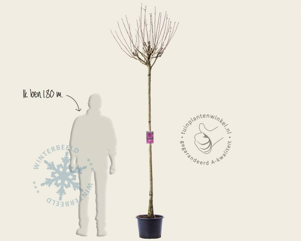 Hibiscus x 'Resi' - 180 cm stam | Boom hibicus | Vertrouwd ...