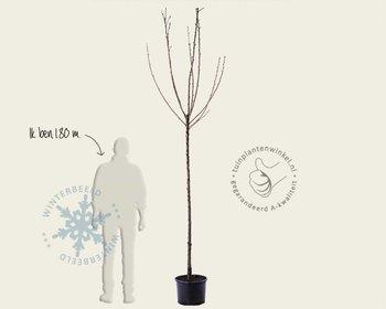 Prunus avium 'Morel' - hoogstam