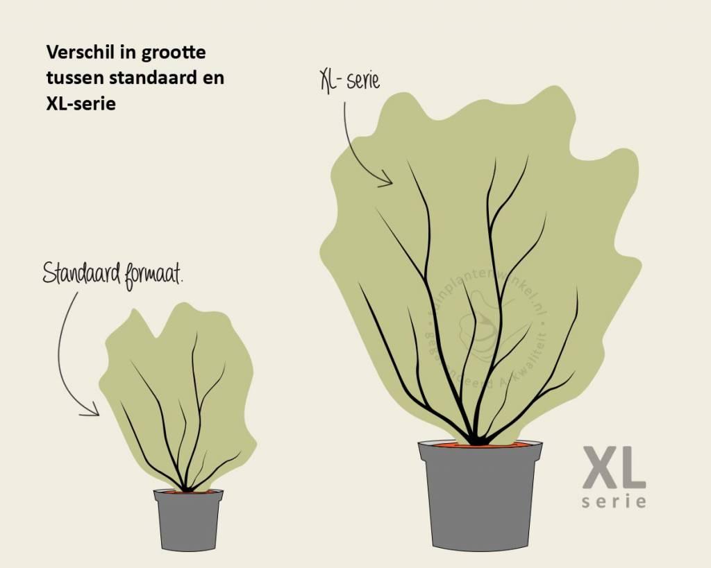 Ligustrum lucidum 50/80 - in pot - XL | Liguster ... | 1024 x 819 jpeg 43kB