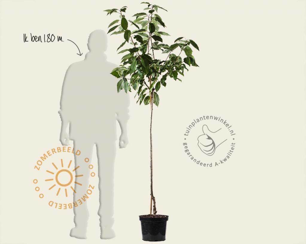 Prunus avium 'Morel' - halfstam