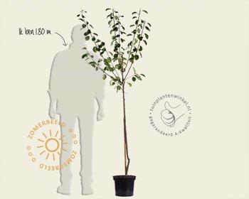 Prunus domestica 'Reine Claude Verte' - halfstam