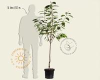 Prunus avium 'Udense Spaanse' - laagstam