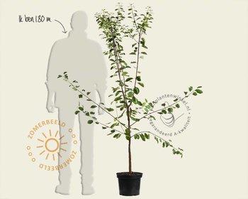 Prunus domestica 'Reine Claude D'Oullins' - laagstam