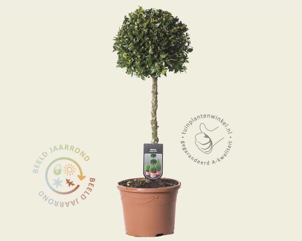 Buxus sempervirens bol - 35 cm stam